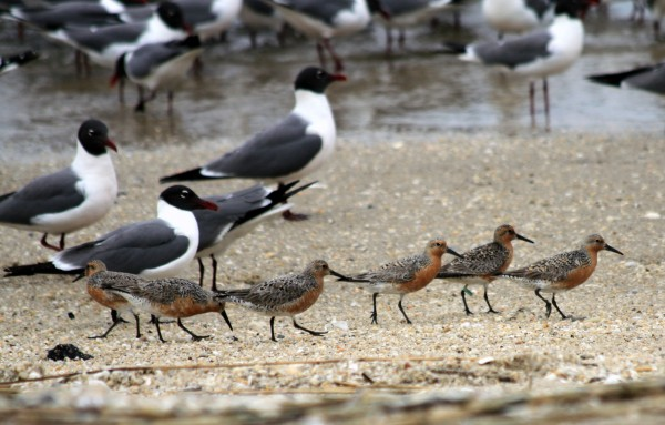 01 RedKnot Line